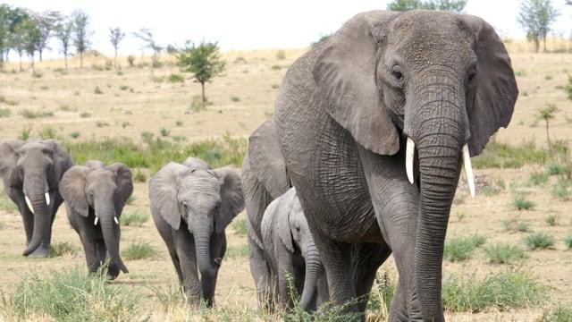 Eine Elefantenherde im Steppengebiet. Im Vordergrund ein grosser Elefant, vier kleinere laufen hinter her.