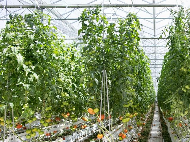 In einem Gewächshaus wachsen Tomaten