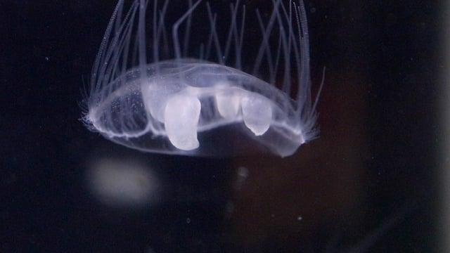 Eine Süsswasserqualle Craspedacusta sowerbyi
