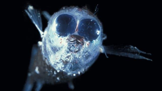 Heller Fisch mit riesigen Augen vor schwarzem Hintergrund