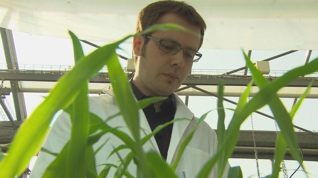 Matthias Erb steht hinter einer Maispflanze.