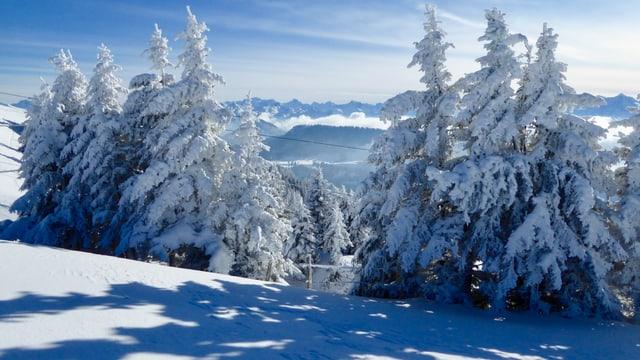 Winterlich verschneite Tannen auf der Rigi.