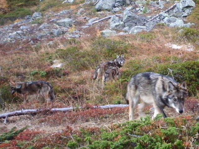 Drei Wölfe streifen durch die Landschaft.