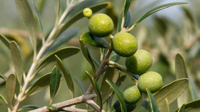 Ein Zweig eines Olivenbaums mit hellgrünen Früchten daran.