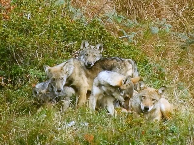 Fotografia d'ina famiglia da lufs en Grischun
