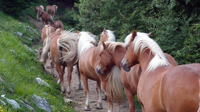 Ils chavals selvadis dal Tessin...