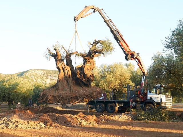 Der 2000 Jahre alte Olivenbaum wurde nach Düsseldorf verkauft.