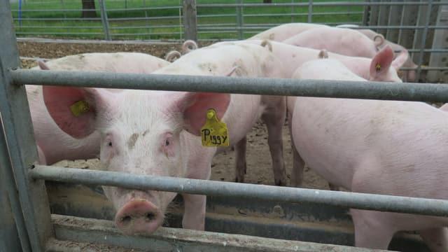 Schwein mit Ohrmarke Piggy guckt in Kamera. Daneben anderen Schweine.