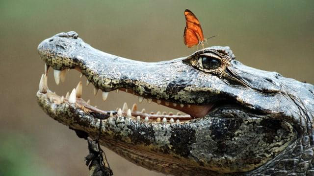 Krokodil, dem in Schmetterling auf dem Auge sitzt.