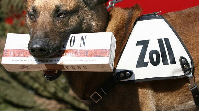 Suchhund des Zolls mit Zigaretten.