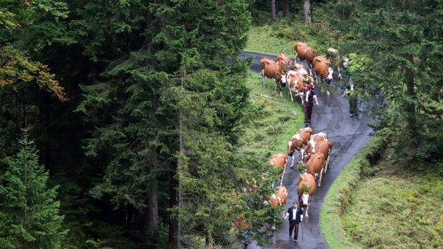 Wald, Kühe auf Strasse, von Mann angeführt