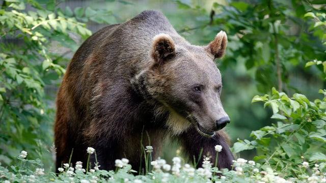 Fotofallen im Gebiet Hoch-Ybrig sollen die Existenz eines Bären nachweisen.