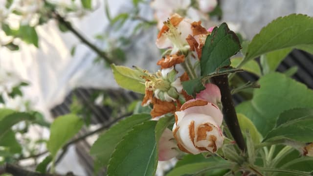 Apfelblüte mit braunen Stellen