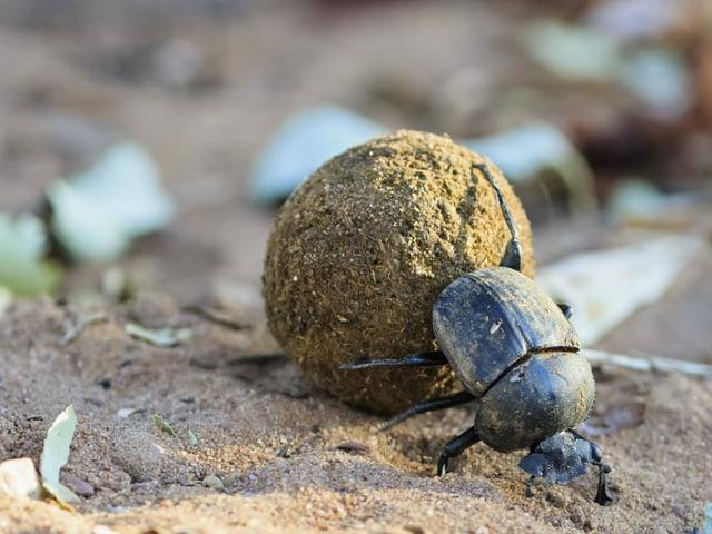 Ein Käfer schiebt mit seinem Hinterteil einen erdige Kugel vor sich hin, welche etwa drei Mal so gross ist wie der Käfer selbst.