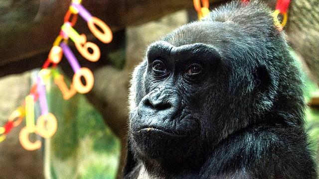 Die Gorilla-Dame Colo.