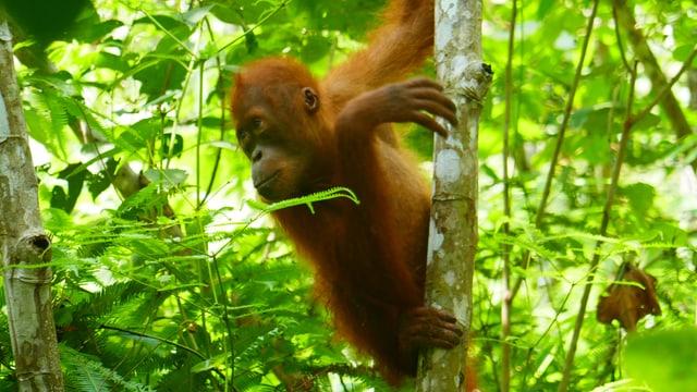 Ein Orang-Utan-Baby in den Baumwipfeln