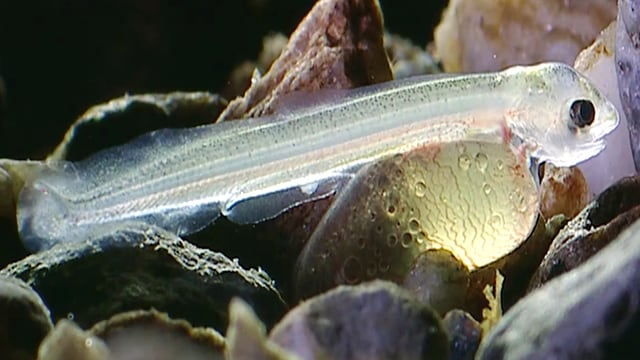 Video «Fische: Unsere Verwandten im Wasser (1/6)» abspielen