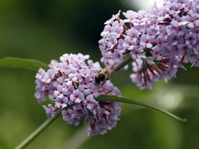Eine Biene auf einem Sommerflieder