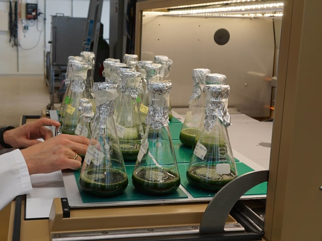 Algen im Labor
