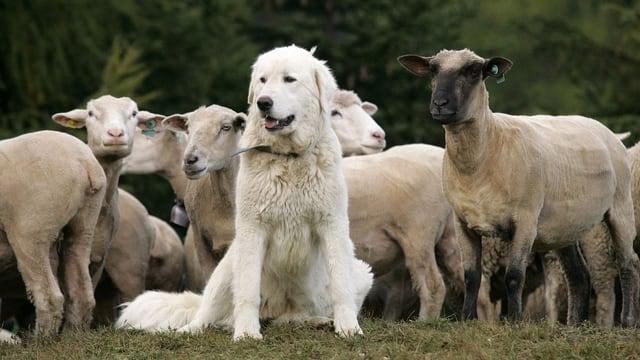 Ein Herdenschutzhund vor einer Schafherde.