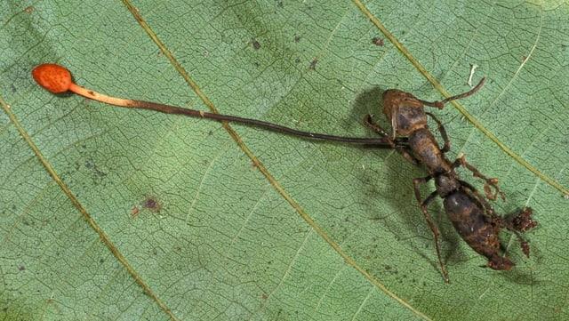 eine tote Ameise auf einem Blatt, aus der ein roter Faden wächst