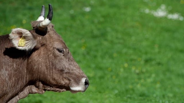 Kopf einer braunen Kuh