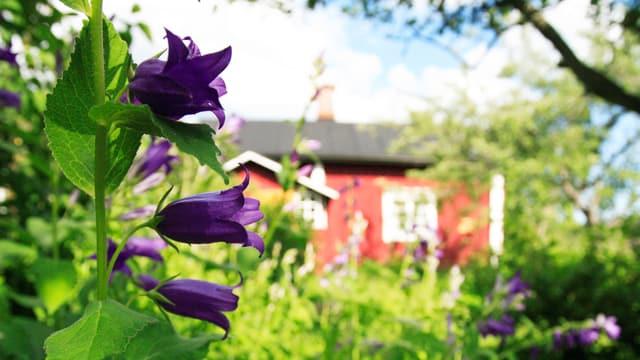 Violette Blumen in einem üppigen Garten, dahinter ein rotes Haus.