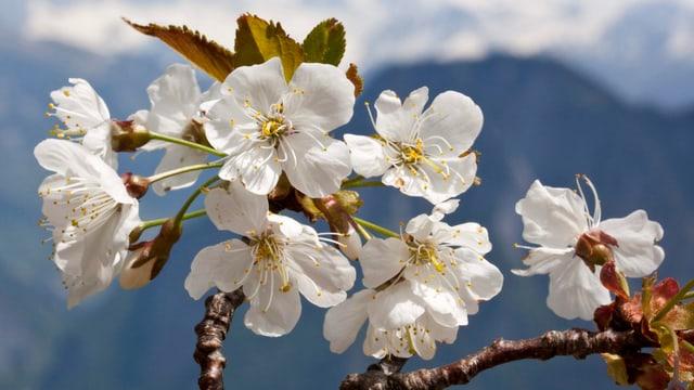 Wilde Kirschblüte auf einem Ast