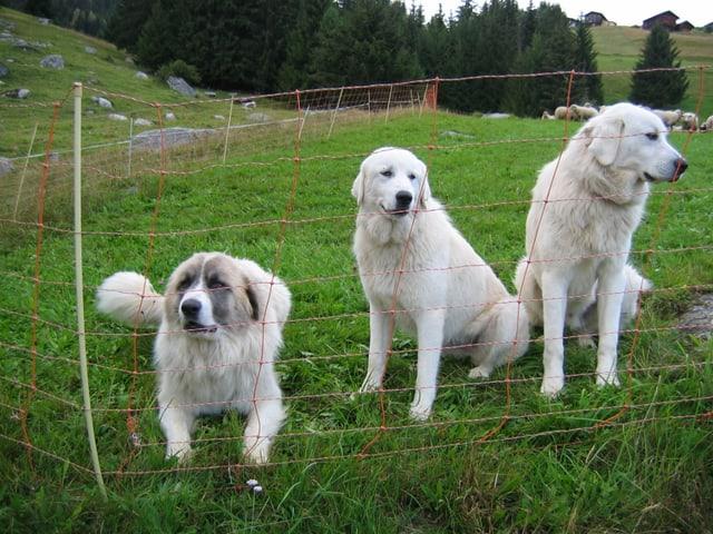 Dasperas ils dus raz da chauns da protecziun che la confederaziun lubescha, qua ils Montagnes de Pyrenées.....
