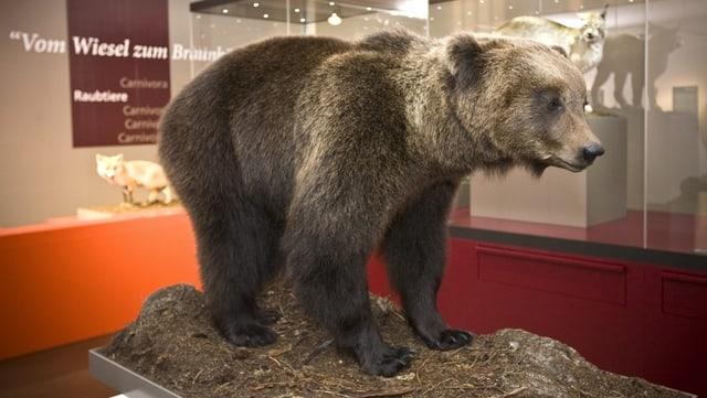 Igl è anc intschert sche l'urs M13 vegn exponì en il Museum da la Natira, sco ses collega JJ3 ch'ins vesa qua en il museum.