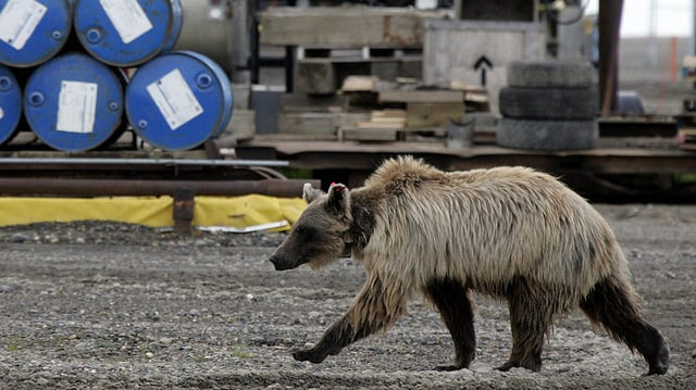 Ein Grizzly-Bär läuft an einem Stapel blauer Fässer vorbei.
