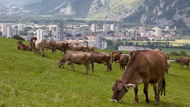 Stadt Chur im Hintergrund, im Vordergrund Kühe