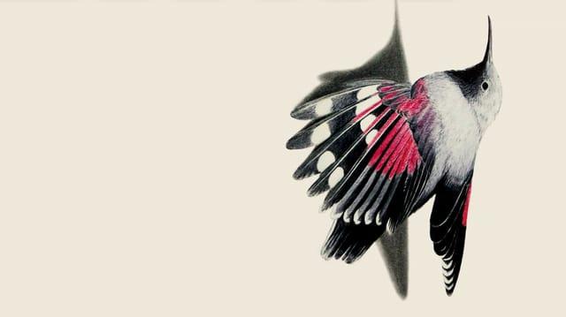Ein gezeichneter Mauerläufer. Er hat zum Teil roten Federn.
