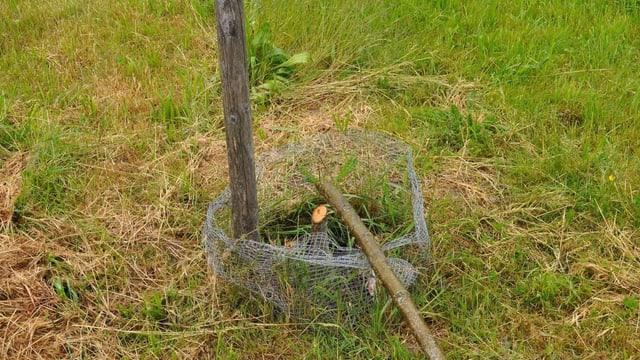 Der abgesägte Stamm eines jungen Obstbaumes liegt am Boden.