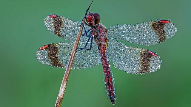 eine Libelle, die von Tropfen übersät ist
