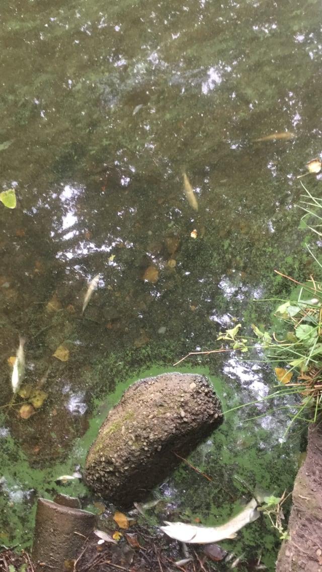 Tote Fische am Ufer des Ziegeleiweihers