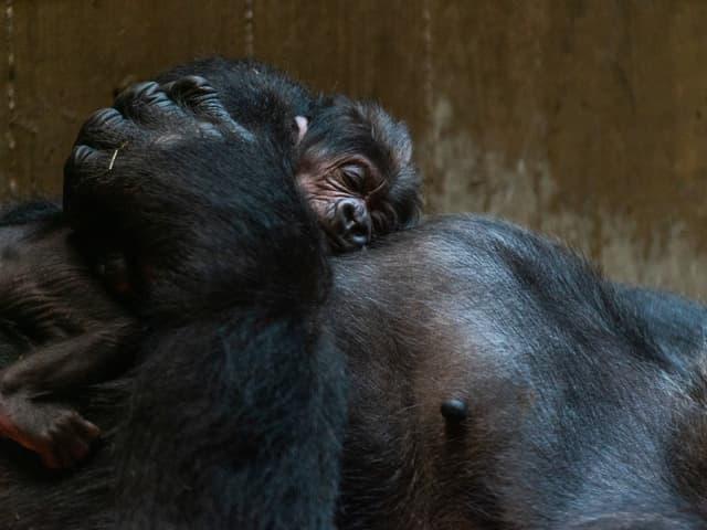 Nach der Geburt erholt sich «Moke» auf dem Bauch seiner Mutter.