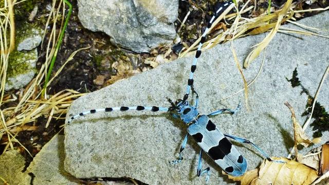 Der blau-schwarze Käfer auf einem Stein.