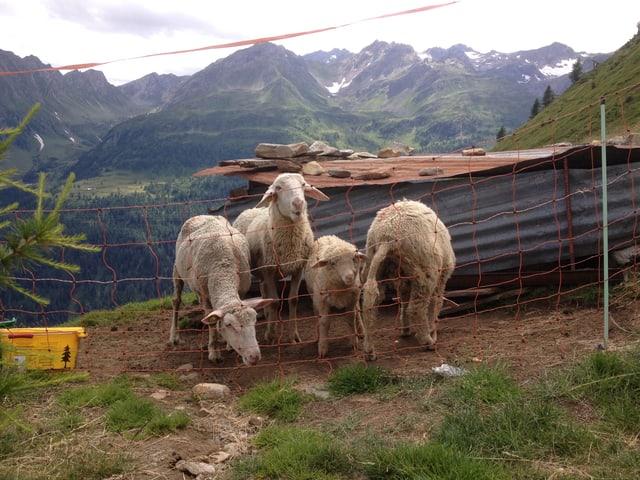 Vier Schafe stehen an einem Hang.