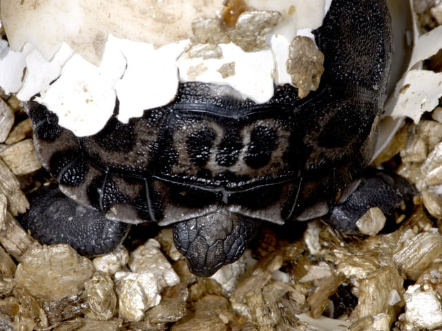 Eine kleine Schildkröte schlüpft aus dem Ei.