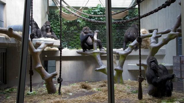 Blick auf Gorillas im Affenhaus im Zoo Basel