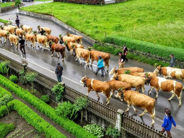 Geschmückte Kühe sind auf der Strasse unterwegs beim Alpaufzug.