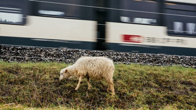 Ein Schaf beim Grasen, während ein Zug vorbei fährt