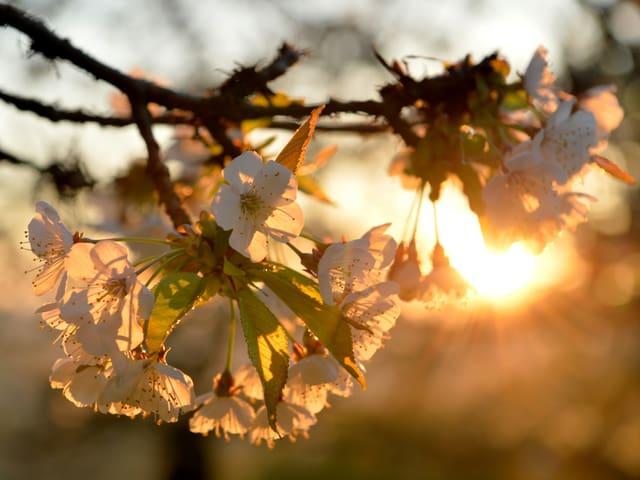 Weisse Blüten eines Baumes in Grossaufnahme im Gegenlicht