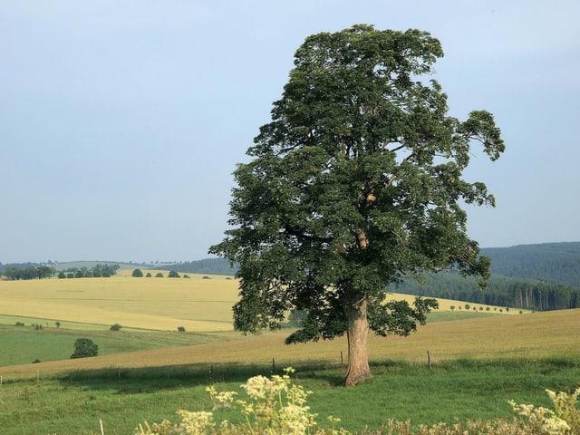 Grosser Baum mit grosser Krone