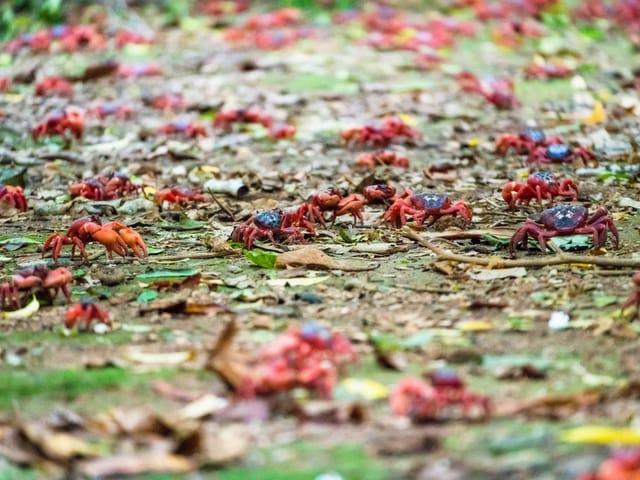 Krabben auf Waldboden.