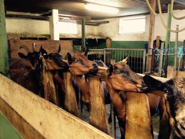 Mehrere braune Geissen in einem Stall, alle drehen die Köpfe nach rechts.