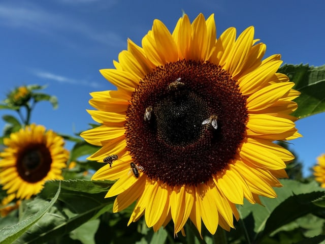Blühende Sonneblume bei strahlend blauem Himmel.