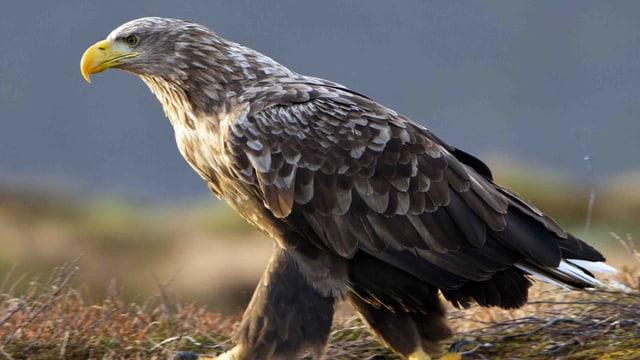 Video «Seeadler - Der Vogel Phoenix» abspielen