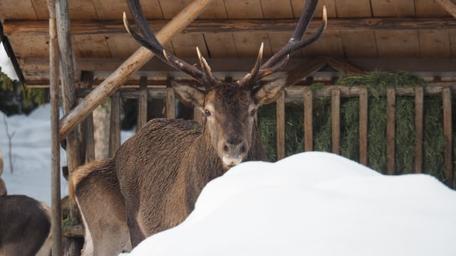 Hirsch bei Wildtierfütterung im Winter